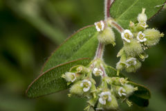微小的大约茄属植物施魔法的人花 免版税图库摄影