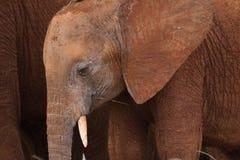 微小的大象 库存图片