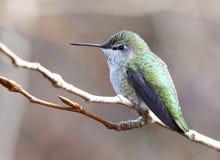 微小的安娜` s蜂鸟在树枝单独栖息 库存图片
