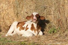 微小的小牛在谷仓 库存图片