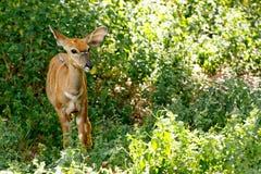 微小的林羚 免版税库存照片