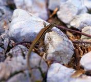 微小的棕色蜥蜴 免版税库存图片