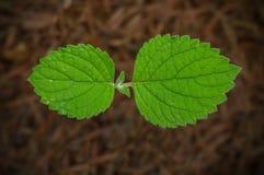 微小的植物叶子特写镜头  免版税库存照片