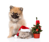 微小的波美丝毛狗小狗和苏格兰小猫与圣诞老人帽子和圣诞节 查出在白色 免版税库存图片