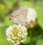 微小的灰色翅上有细纹的蝶蝴蝶 免版税库存图片