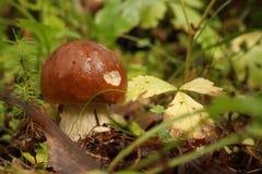 微小的灰色蘑菇在森林里 免版税图库摄影