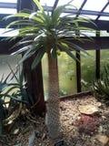 微小的热带棕榈树格拉斯哥botanics 库存图片
