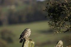 微小的猫头鹰发现了您 图库摄影