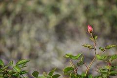 微小的玫瑰花蕾边界 免版税库存图片