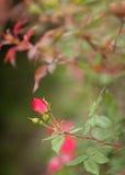 微小的玫瑰花蕾 库存照片