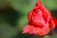 微小的玫瑰花蕾 图库摄影
