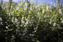 微小的白花的领域 免版税库存图片