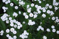 微小的白花麦paniculata 库存照片