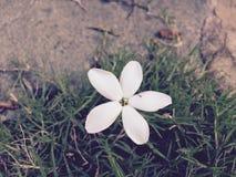 微小的白花 免版税图库摄影