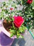 微小的矮小的美丽的红色玫瑰 免版税库存照片