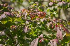 微小的秋天莓果 免版税图库摄影
