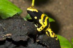 微小的箭青蛙, Yelow被结合的Pison青蛙, Dendrobates leucomelas 免版税库存图片