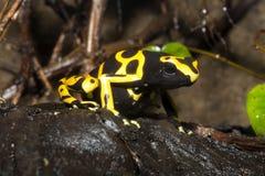 微小的箭青蛙, Yelow被结合的Pison青蛙, Dendrobates leucomelas 库存照片