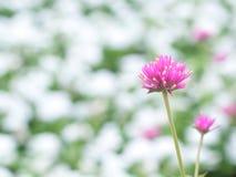 微小的紫色花在庭院里 库存照片