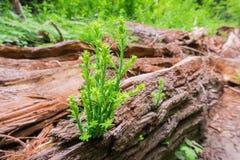 微小的红木树发芽在一棵最近下落的老树的日志的美国加州红杉sempervirens 免版税库存图片