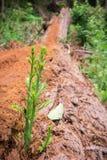 微小的红木树发芽在一棵最近下落的老树的日志的美国加州红杉sempervirens 免版税图库摄影