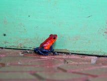 微小的红色毒物箭青蛙对薄荷的绿色墙壁 免版税库存图片