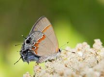 微小的红被结合的翅上有细纹的蝶蝴蝶, Calycopis cecrops 免版税库存照片