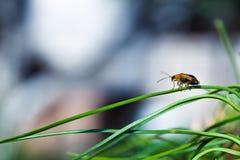 微小的臭虫坐在绿色背景的草 免版税库存图片