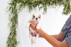 微小的英国牛头犬小狗在交配动物者` s手里 水平的画象 免版税库存图片