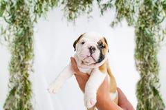 微小的英国牛头犬小狗在交配动物者` s手里 免版税库存图片
