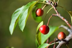 微小的苹果树 库存图片