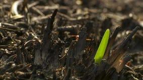 微小的草切削刀蚂蚁切开刀片和安置对真菌庭院  腐烂的草喂养真菌,并且真菌哺养 库存图片