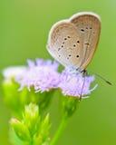 微小的草蓝色, Zizula hylax hylax 库存图片