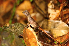 微小的蜥蜴 免版税库存照片