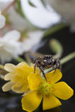 微小的跳跃的蜘蛛 库存照片