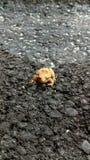 微小的青蛙 库存照片