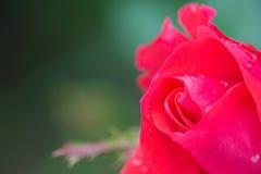 微小的顶出红色玫瑰花蕾 免版税库存照片