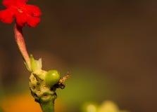 微小的飞行查寻在一朵新的花的芽的食物 免版税库存照片