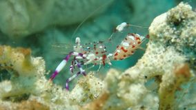 微小的鬼魂虾用鸡蛋在菲律宾的Anilao 库存照片
