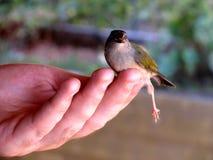 微小的鸟在手边 免版税图库摄影