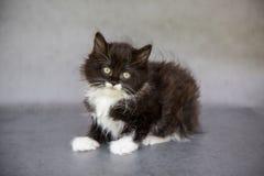 微小的黑白小猫 免版税库存照片