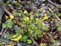 微小的黄色花喜欢在花谷的紫堇属Cornuta  免版税库存图片