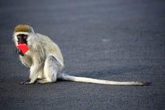 微小的黑长尾小猴在奈瓦沙,肯尼亚 库存照片