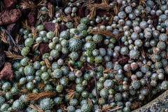 微小的houseleeks & x28; sempervivum& x29;多汁植物 库存图片