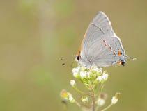 微小蝴蝶精美灰色的翅上有细纹的蝶 免版税库存照片
