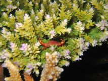 微小螃蟹的礁石 库存图片