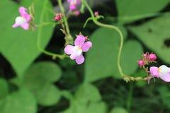 微小,精美利纳里亚花和芽反对牵牛花背景离开 免版税图库摄影