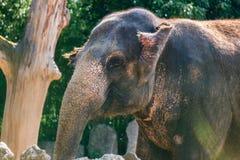 微笑入一张远画象的照相机的愉快的大象 免版税库存图片