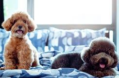 微笑和放松在杂乱床上的一只可爱的愉快的棕色和黑狮子狗以后醒与所有者早晨 免版税图库摄影