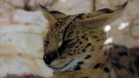 微笑在照相机前面的豹猫 库存图片